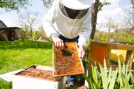 Beekeeper is looking swarm activity over honeycomb on wooden frame, control situation in bee colony. Frame with foundation with laying workers, looking for dead brood bees, expanded brood, failed colony. To locate a queen, to check health, disease.