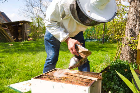 A bee hive box being smoked to calm the worker bees and encourage them to move away from the open hive, allowing a beekeeper to inspect the hive for parasites. Authentic secne of life in garden