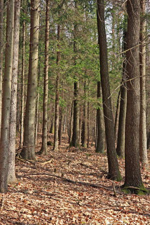 Coniferous woods in spring
