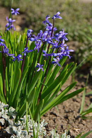 Common hyacinth in spring