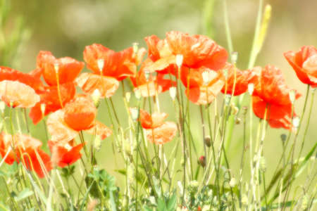 Red poppies in summer Stock Photo