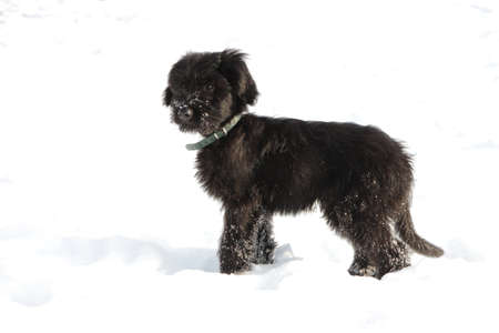 Black briard puppy with collar in a snow