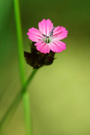 Dianthus carthusianorum (Carthusian Pink) Stock Photo