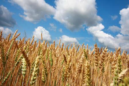Unripe wheat in summer