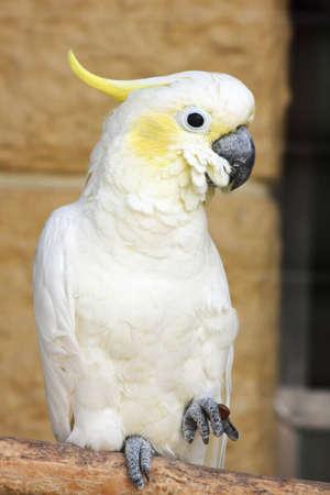 Sulphur-crested Cockatoo (Cacatua galerita) Stock Photo