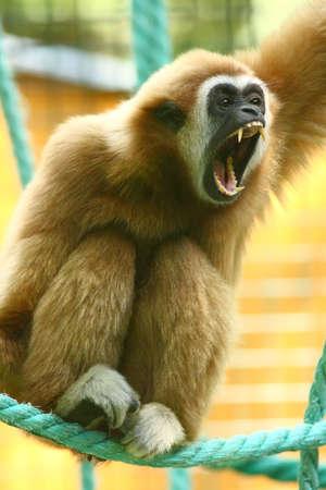 Lar gibbon shouting