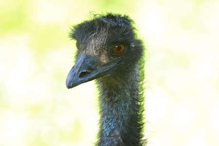 Emu head Stock Photo