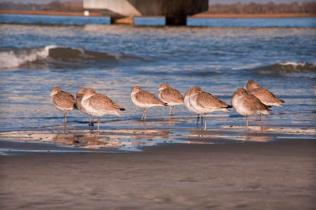 A flock of willets asleep on the ocean shore