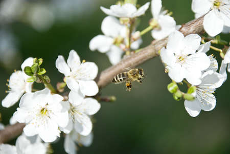 bee collects nectar from spring flowers photo