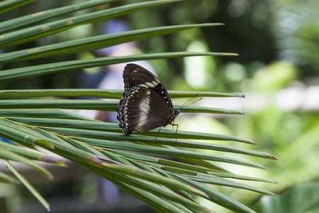 palm frond: Hypolimnas bolina, Blue Moon Butterfly on palm frond
