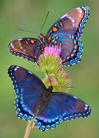 붉은 발견 두 보라색 나비 엉 겅 퀴에 앉아있다. 스톡 콘텐츠