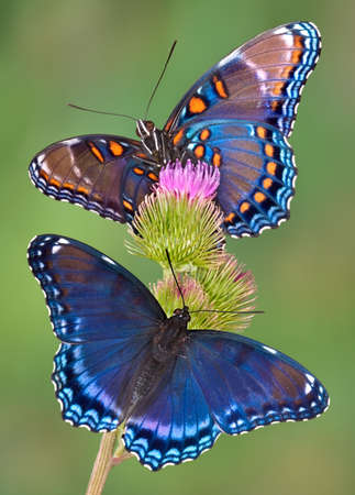 Two red-spotted purple butterflies are sitting on thistle. 免版税图像