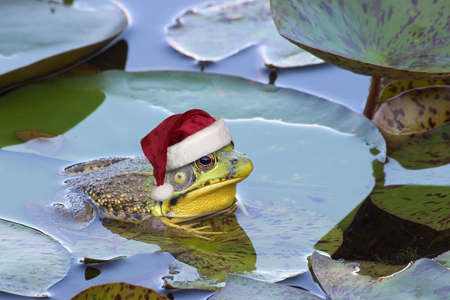 A bullfrog is sitting on a lily pad wearing a santa hat.