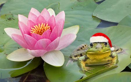 A frog is wearing a santa hat while sitting next to a water lily. Stock Photo - 2222112
