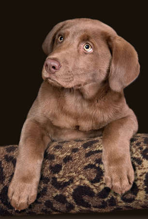 A chocolate lab puppy is posing for a portrait. 免版税图像