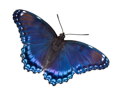 A red-spotted purple butterfly is shown with wings open on a white background. Stock Photo