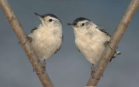 Two nuthatches are sitting on branches next to each other.