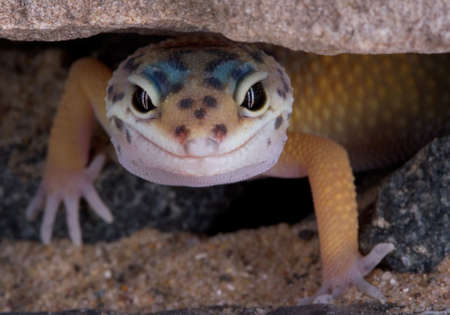 A young leopard gecko is slowing crawlling out from under a rock.