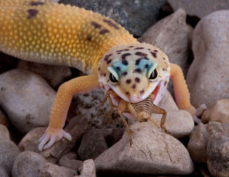 A young leopard gecko is eating a cricket