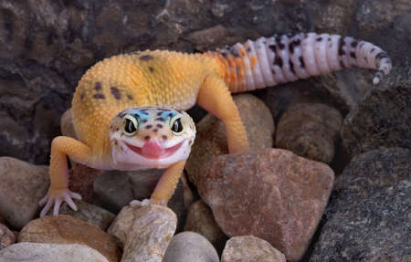 A young leopard gecko is walking over rocks and licking its lips.