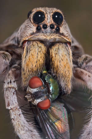 A male wolf spider has sunk his fangs in a blow fly. 免版税图像