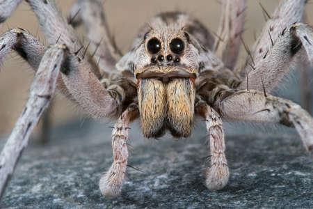 Un loup mâle araignée rampant sur un rocher. Banque d'images - 2549934