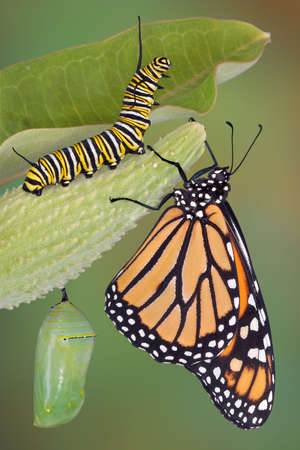 Un papillon monarque, chenille, chrysalide et sont affichés dans la même image.