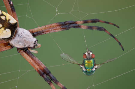 A fly is caught in an argiope spiders web and the spider is closing in.
