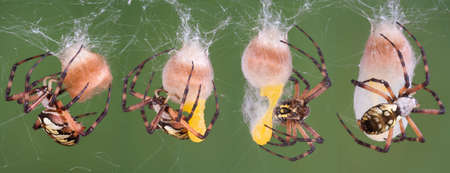 A series of photos of a black and yellow argiope spider making an egg case.