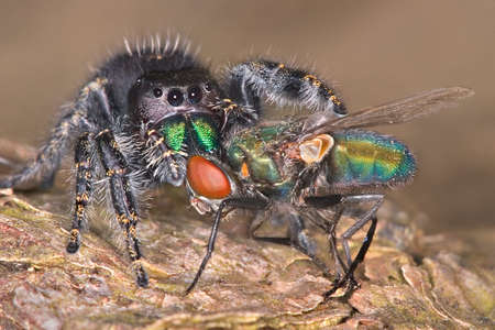 A Jumping spider has his fangs in a fly while sitting on tree bark. 免版税图像