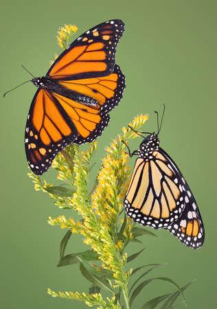 Two monarch butterflies frolic on goldenrod. Stock Photo