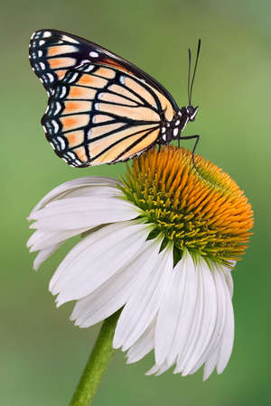 A viceroy butterfly is sitting on a coneflower.
