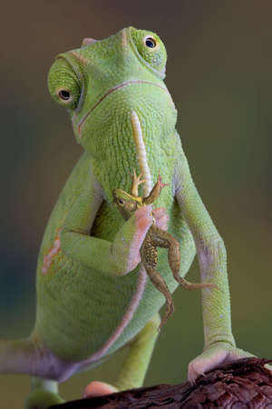 A veiled chameleon is holding a frog.