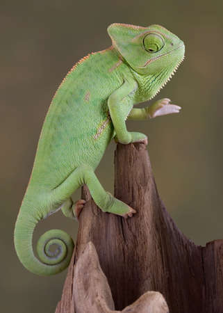 A  veiled chameleon is lookin down in a dark hole. Stock Photo