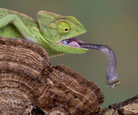 A  veiled chameleon is picking up a fly with his tongue.