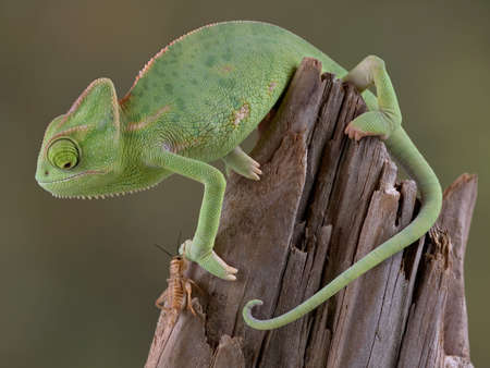 A  veiled chameleon is keeping his eye on a cricket. Stock Photo