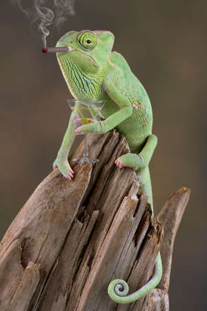 A  veiled chameleon looks to be smoking a cigar and holding a martiny in his hand. 免版税图像