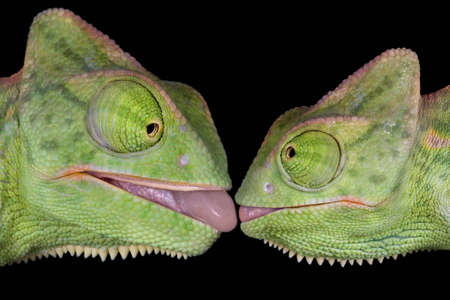 Two  veiled chameleons appear to be about to kiss.