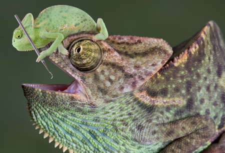 A  veiled chameleon is sitting on the head of a large veiled chameleon and trying to use a dental tool on his teeth.