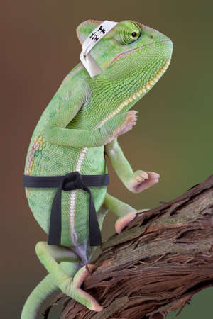 A veiled chameleon is striking a karate pose wearing a black belt and a karate headband.