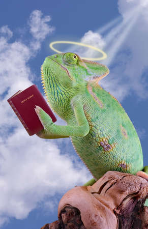 A veiled chameleon is praying while holding the bible.