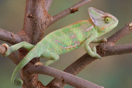 A veiled chameleon is climbing on some tree branches. Stock Photo