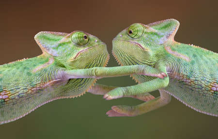 Two veiled chameleon babies are embracing each other. Imagens