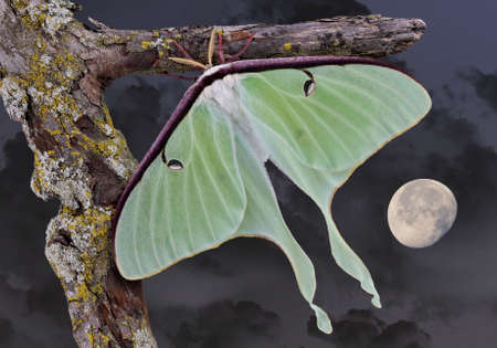 A Luna moth is shown sitting on a branch on a moonlit night.