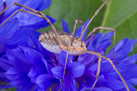 A daddy long legs is sitting on a blue wildflower.