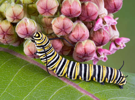 A monarch caterpillar is crawling on a flowering milkweed plant. Stock Photo - 3335893