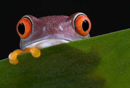 A  red-eyed tree frog is peeking over a leaf.