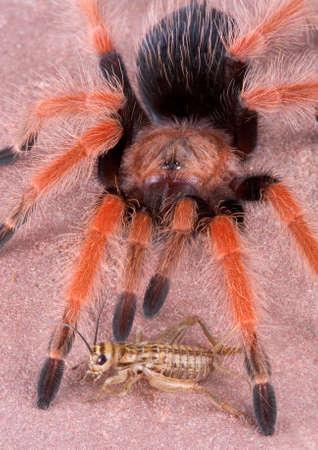 A cricket is sitting at the feet of a tarantula. Reklamní fotografie