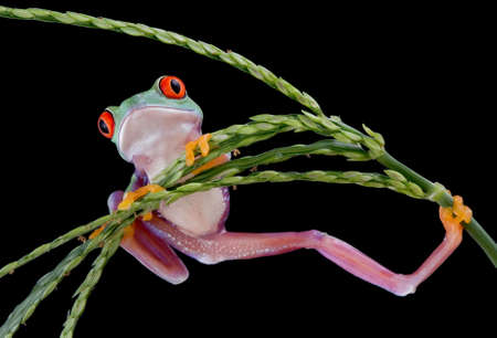 A  red-eyed tree frog is hanging from a plant in an awkward position.
