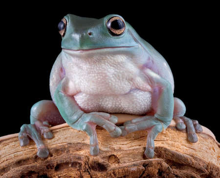 A whites tree frog is sitting on a branch.